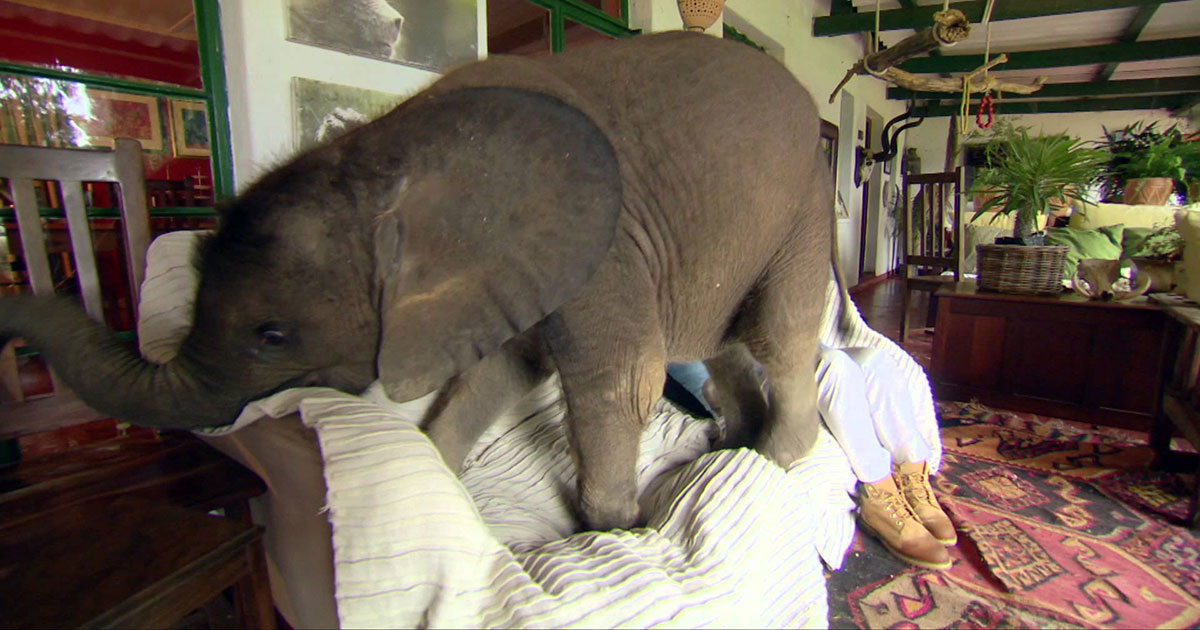 Видео: Можно ли содержать слона в жилом доме?